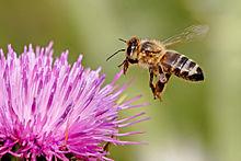 Honeybee_landing_on_milkthistle